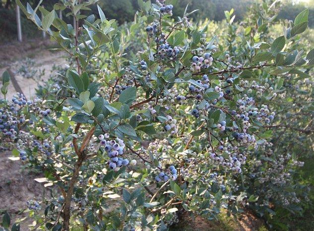 Plantatie afine, 5.2 ha, soi tarziu, certificata Global G.A.P. ,anul 8 productie - imaginea 1